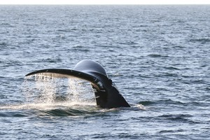 North Atlantic right whales are among the most endangered species in the world. | Bottom photo by Georgia DNR under NOAA Permit No. 15488