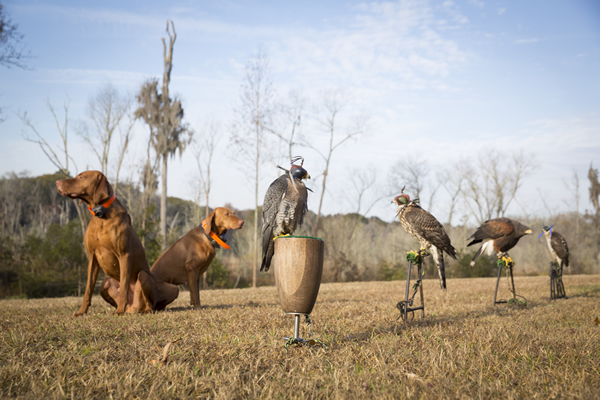 Guests and members partner with dogs and raptors on hunts for squirrel, pheasant and quail.