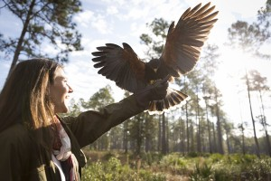 After a dramatic decline, raptor populations have recovered, thanks in part to falconers who advocated a DDT ban and artificial insemination in captive birds.
