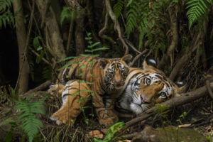 tiger-mother-and-cub_cr-steve-winter