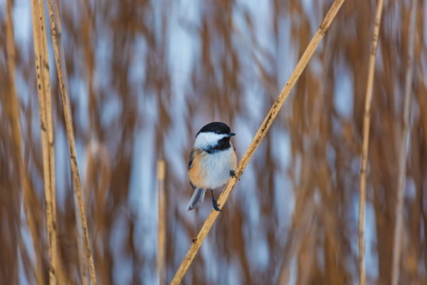 shutterstock_the-black-capped1-chickadee